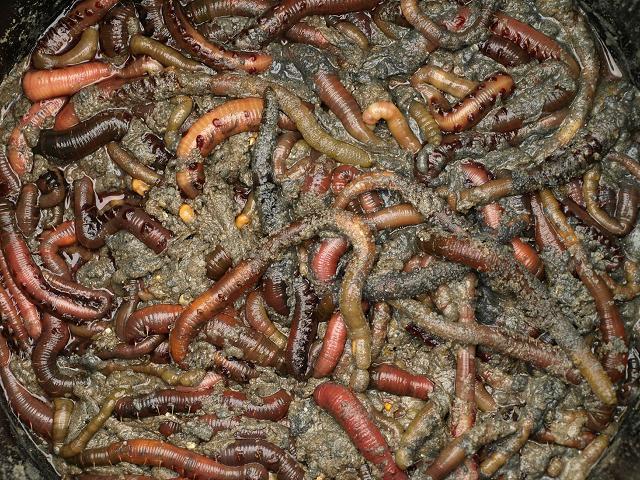 worm_arenicola_marina_lugworm_bucket_22-09-10_1